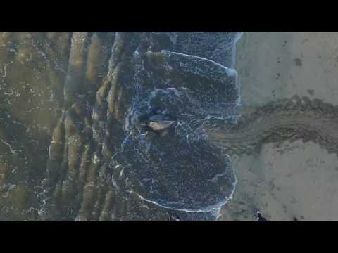 Drone Video of Leatherback Sea Turtle Returning to Sea After Nesting