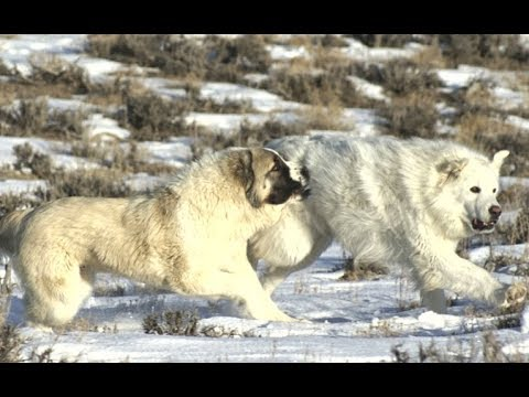 Top 5 Biggest dog breeds that can fight wolves