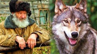 Дедушка спас беззащитного волчонка в лесу. А когда волчонок вырос, отплатил своему спасителю добром.