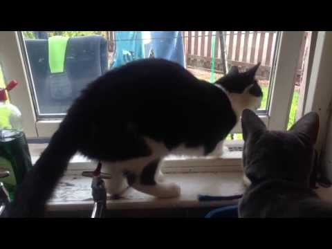 Marlin (alias Felix) the clever cat. Trick 1 -  Opens and escapes through closed window.