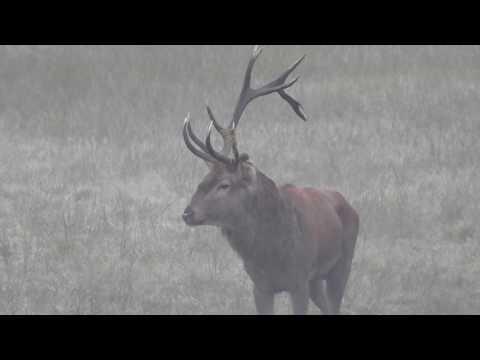 Rykowisko 18 ender Hirsch Hirschbrunft Brame du Cerf Red Deer Rut 2016 nr16