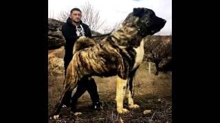 бойцовские собаки - Alabay