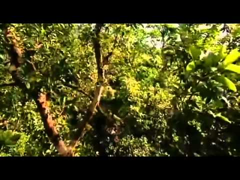 Madagascar   Documentary on Life in Madagascar's Tree Top Canopies