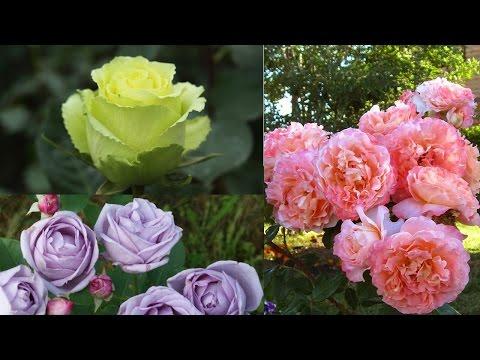 Обзор новых сортов роз ✿ распаковка посылки ✿ посадка роз ✿ как из ч/г розы сделать домашнюю