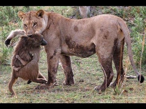 Lion Kill Monkey , Lion vs Monkey - YouTube