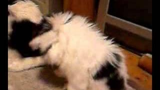 わが家の極小狆姉妹「ひな・ふな(仮称)」のひとり、猫顔の「ふな」体...