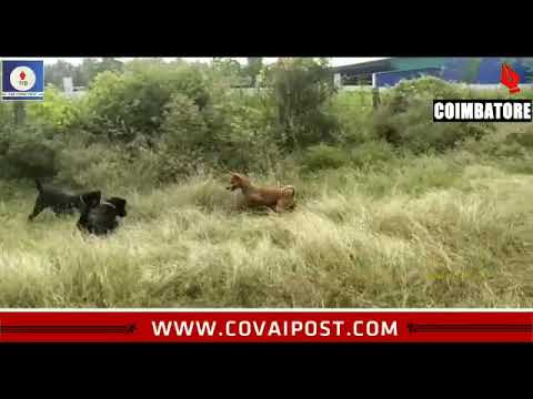 captured-on-camera:-stray-dogs-fight-with-a-venomous-snake-to-save-the-owner-in-coimbatore