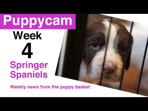 Springer Spaniel Puppies | weaning puppies | Update - week 4 in the puppy pen