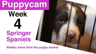 Springer Spaniel Puppies | weaning puppies | Update - week 4 in the puppy pen