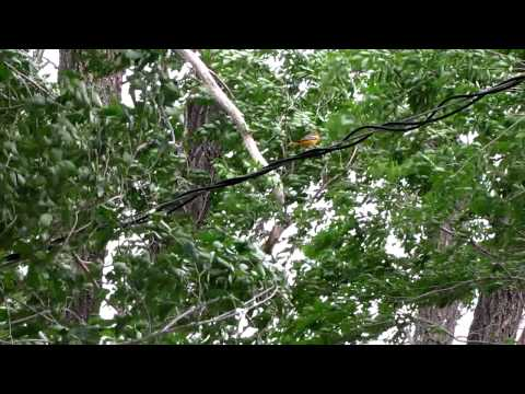 Female Oriole Listens to Male Mating Call part 1
