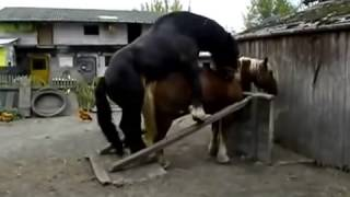Ultimate Horse Mating 5 2014 At Çiftleşmesi 5 2014