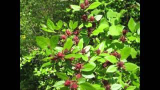 видео Каликант - посадка и уход, фото в саду, виды и размножение