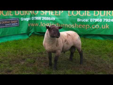 Lots 172-181 Suffolk x Durno Shearling Rams