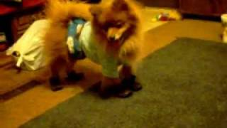 Pomeranian Walking In First Pair Of Shoes