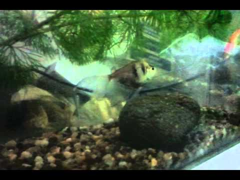 Bể cá bảy màu - Normal Poecilia reticulata living