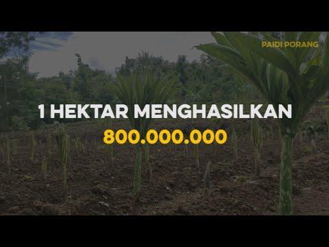 800 JUTA HASIL PANEN PORANG