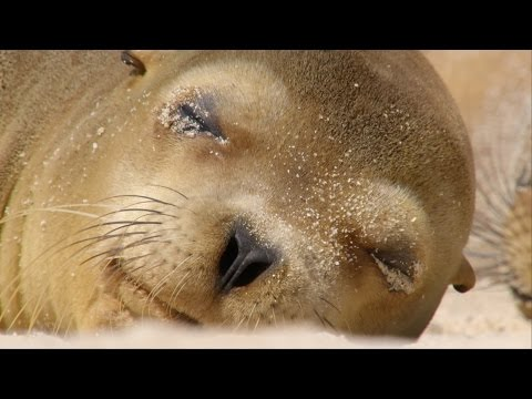 Sharing A Beach With Baby Sea Lions - Galápagos: Islands Of Change - Natural World - BBC Two