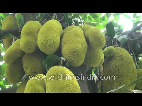 Jackfruit or Kathal tree of India