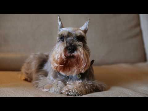 Miniature Schnauzer Dogs 101: Is a Miniature Schnauzer Dog Right For You?