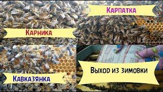 Карника  Карпатка  Кавказская серая  Как вышли из зимовки