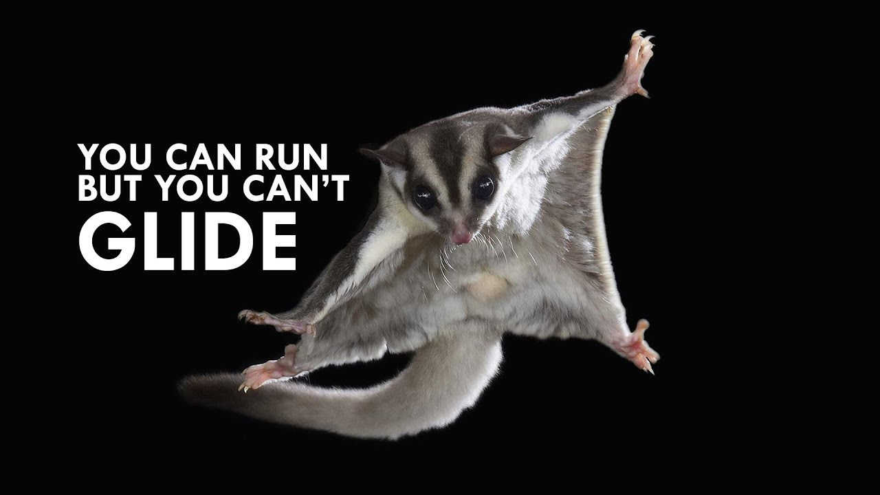 sugar-gliders-you-can-run-but-you-can-t-glide