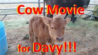 Cow Movie for Davy: Milk Cow and Calf