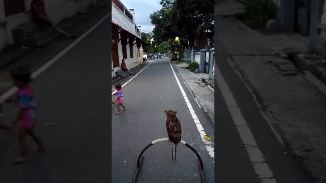 Buffy Fish Owl Bubo Ketupu Awenk Skill Ff 50m Up Kubuhama Youtube