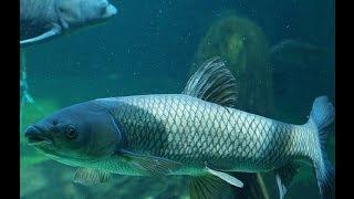 Ловля Білого Амура. Підводні зйомки!!!