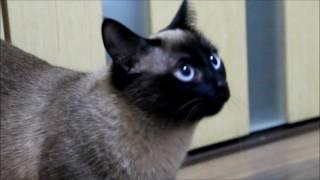 ЗООГОСТИНИЦА В НОВОСИБИРСКЕ. «ТЕРРИТОРИЯ ЖИВОТНЫХ»  У нас в гостях - Сиамская кошка  - Сима.