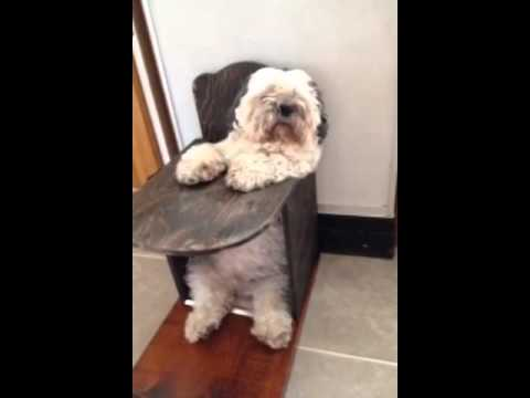 Dog High Chair Dining Room Chairs Cutest Eating Out Of The We Made Him Youtube