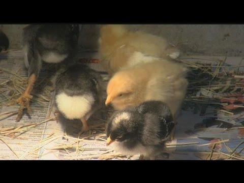Baby chicks battle mosquito-borne viruses in Charlotte Co.