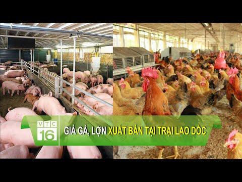 Giá gà, lợn xuất bán tại trại lao dốc   VTC16