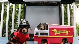 Best Vine Video Compilation By Crusoe Celebrity Dachshund
