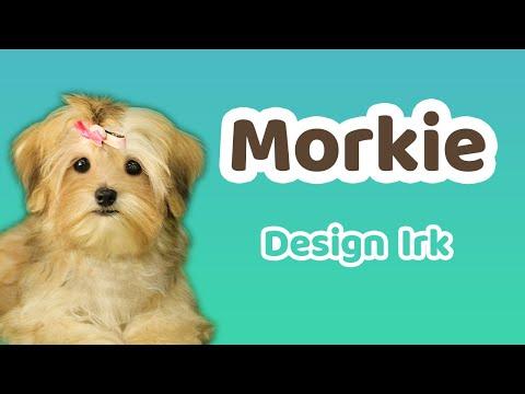 tv8.5'ta-yayınlanan-patinin-hikayesi-programında-dizayn-morkie-ırkını-anlattık