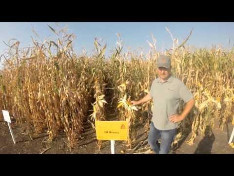Гібрид кукурудзи - ДН Пивиха, характеристика.