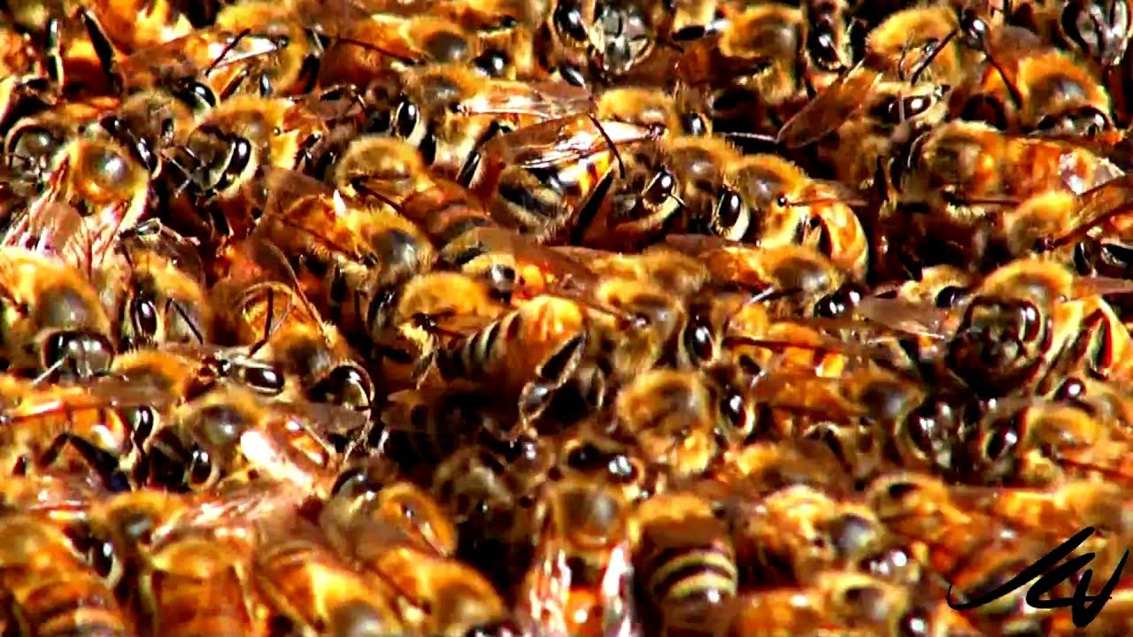 honey bee colony collapse disorder ccd youtube