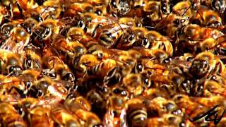 Honey Bee  colony collapse disorder (CCD)