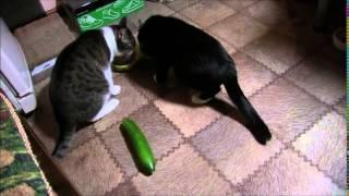 Правильная реакция кошек на огурец