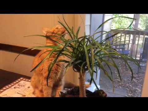 Cats Love Ponytail Palms