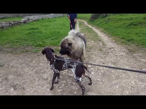 Sumo Caucasian Shepherd
