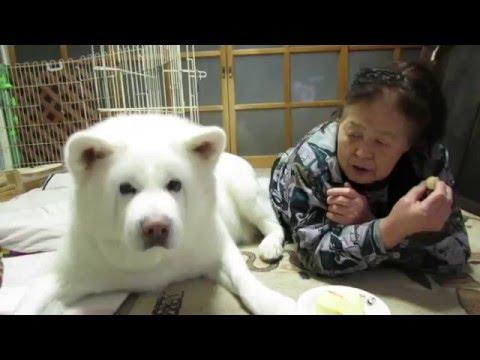 秋田犬食べられそうになったりんごを取り返す【akita dog】