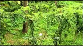 Vanilla cultivation in southern India