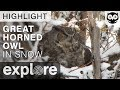 Great Horned Owl in the Snow - Live Cam Highlight