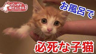 お風呂が嫌でシャワーホースにしがみつく必死な子猫がかわいい
