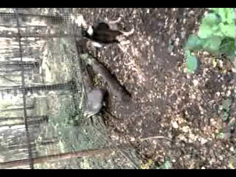 Русско-европейская лайка (фото, видео, описание породы