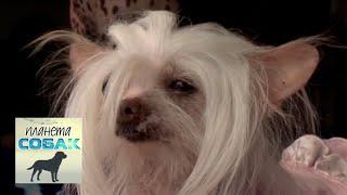 Самые загадочные  голые  собаки  Китайская хохлатая  Планета собак