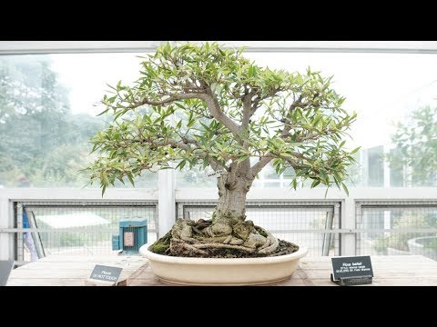 Bonsai Museum at the Brooklyn Botanic Garden, Summer 2017 (Part 1)