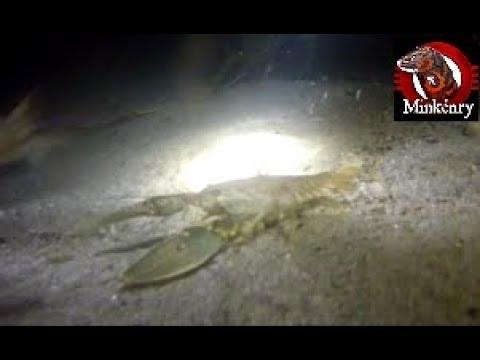 Mink and Dog Catching Crayfish