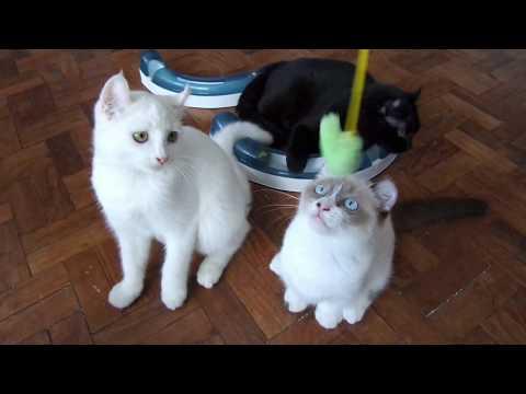 Cutest Dwarf Kitten