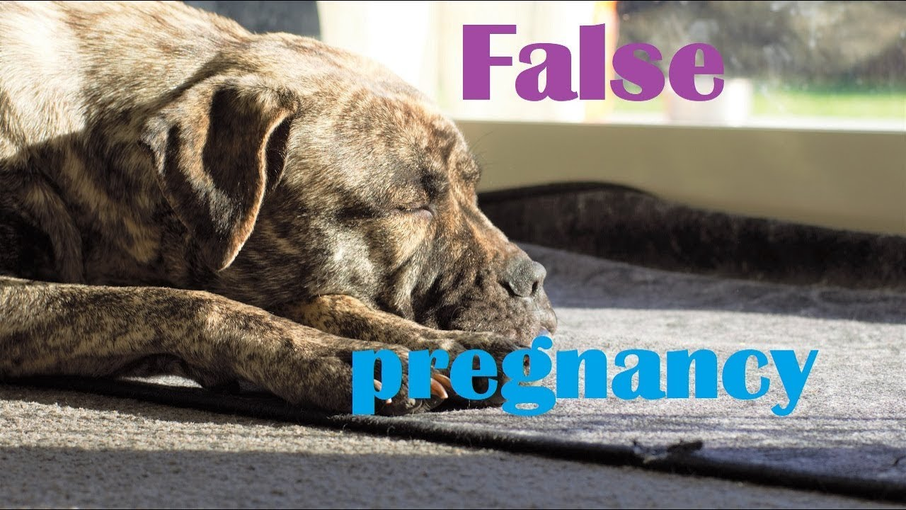 False pregnancy in animals - what is it